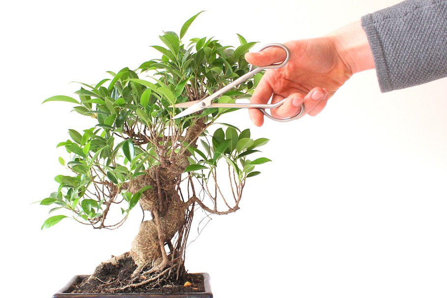Pruning a Ficus bonsai