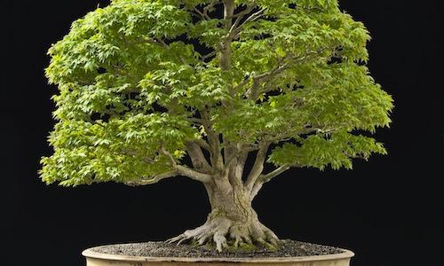 Ceny drzewek Bonsai