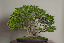 Shishigashira, in April, Muzeum sztuki Bonsai Omiya.